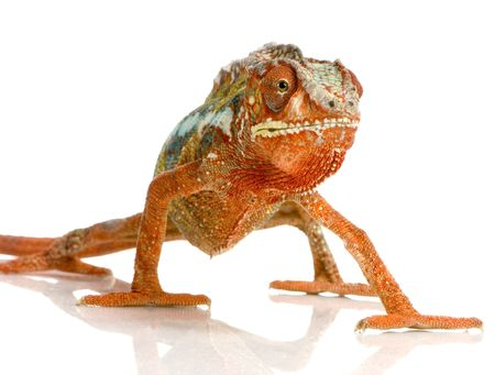 primal: Chameleon Furcifer Pardalis in front of a white background Stock Photo