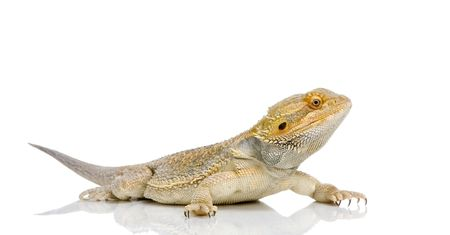 reptilian: Bearded Dragon in front of a white background