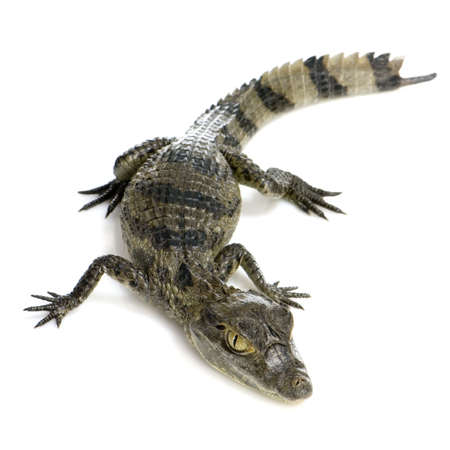 fond: young Spectacled Caiman devant un fond blanc Stock Photo