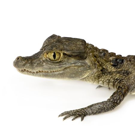 spectacled: young Spectacled Caiman devant un fond blanc Stock Photo