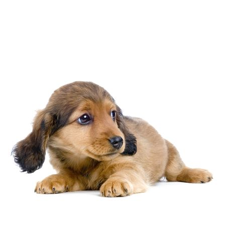 doxie: Dachshund puppy in front of white background