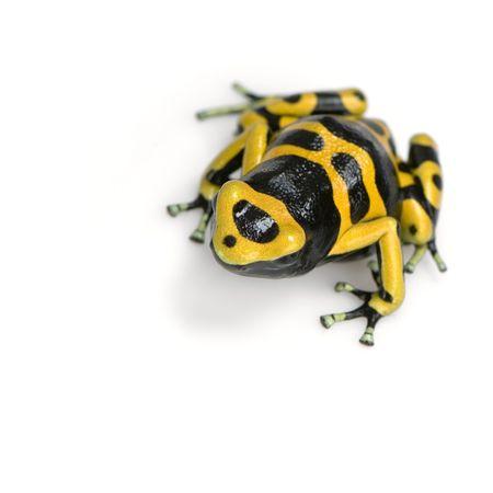 small reptiles: giallo e nero Poison Dart Frog di fronte a uno sfondo bianco  Archivio Fotografico
