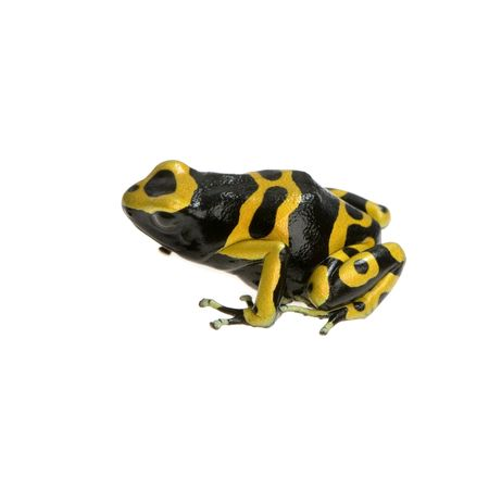 wetness: yellow and Black Poison Dart Frog in front of a white background