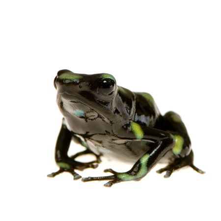 amphibia: Green and Black Poison Dart Frog in front of a white background