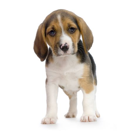 beagle terrier: Puppy Beagle in front of white background