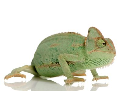 tardy: Yemen Chameleon in front of a white background
