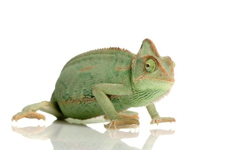 arboreal: Yemen Chameleon in front of a white background