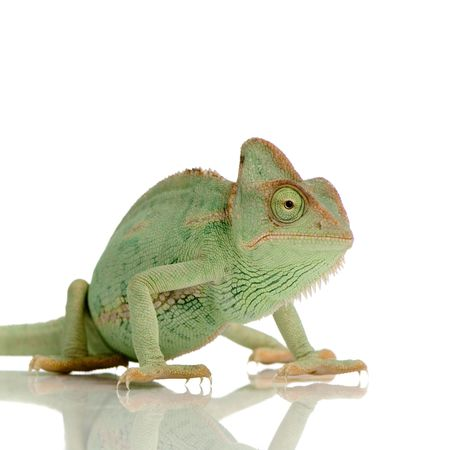 reptilian: Yemen Chameleon in front of a white background