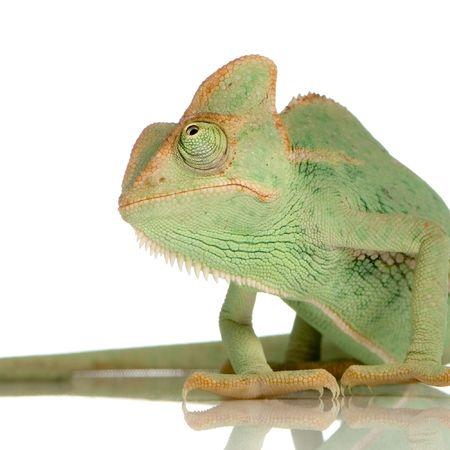 primal: Yemen Chameleon in front of a white background