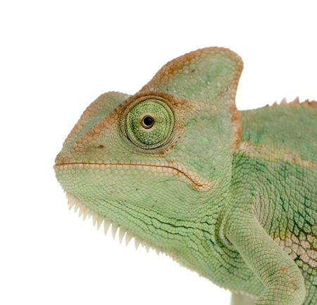 tardy: close-up on a Yemen Chameleon in front of a white background and looking at the camera