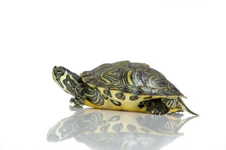 tardy: Red-footed tortoise in front of a white backgroung Stock Photo