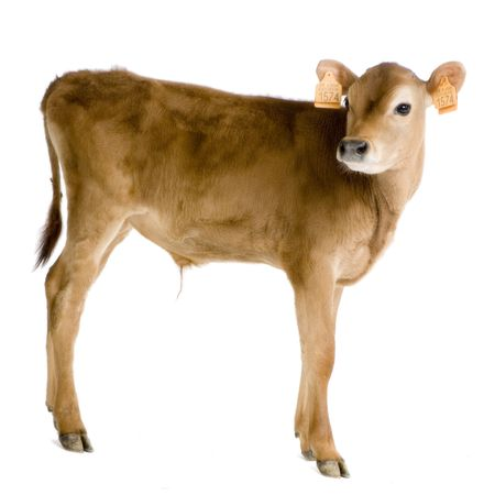 Jersiaise calf in front of a white background Stock Photo