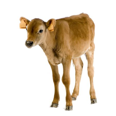 young cow: Jersiaise calf in front of a white background Stock Photo