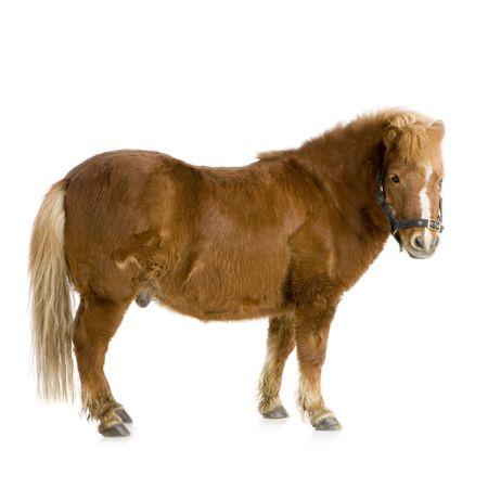 shetland pony: Shetland pony in front of a white background