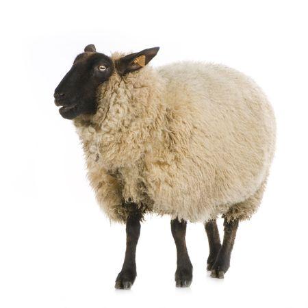 animales de granja: Ovejas delante de un fondo blanco Foto de archivo
