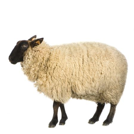 ovelha: Sheep in front of a white background Banco de Imagens