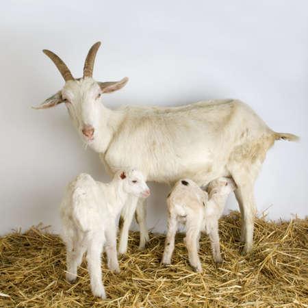 breastfeed: Cabra y su ni�o delante de un fondo gris en un cobertizo