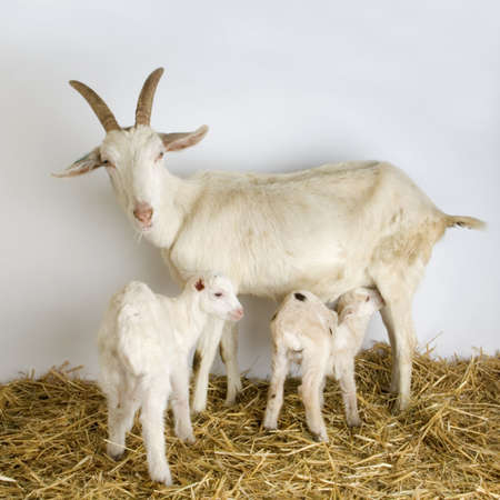 caprine: Goat and her kid in front of a grey background in a shed