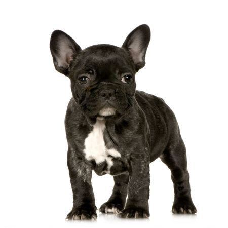 ugliness: french Bulldog puppy in front of a white background looking at the camera  Stock Photo