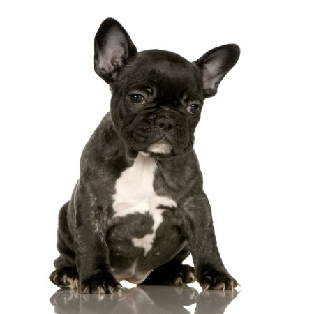 wrinkely: french Bulldog puppy in front of a white background