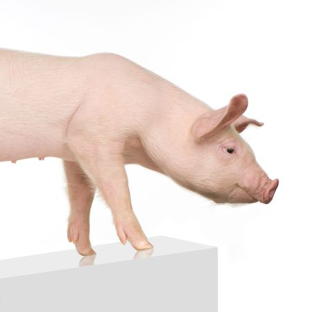 sniff: Pig in front of a white background
