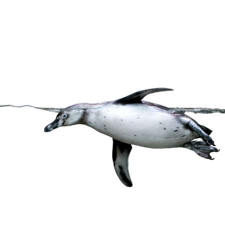 penguin: penguin under water isolated on white