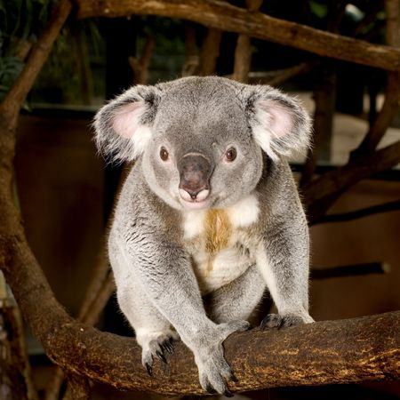 arboreal: Koala in front of a white background Stock Photo
