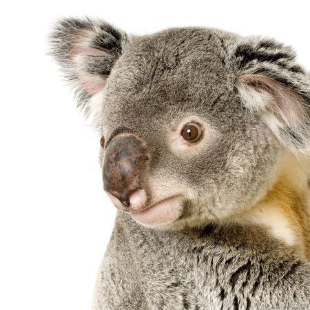 coala: Koala delante de un fondo blanco