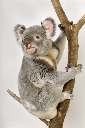 herbivores: Koala in front of a white background Stock Photo
