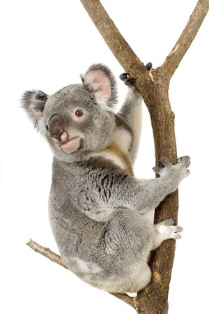 herbivore: Koala in front of a white background Stock Photo