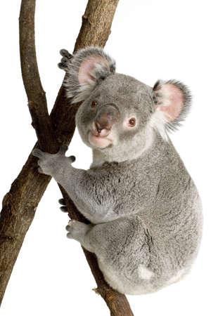 marsupial: Koala in front of a white background Stock Photo