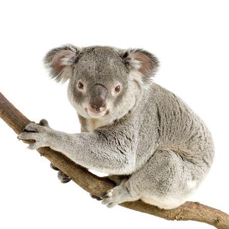 phascolarctos cinereus: Koala en frente de un fondo blanco