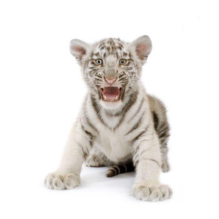 tiger cub: White Tiger Cub (3 mois) devant un fond blanc. Banque d'images