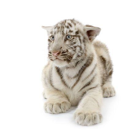 tiger cub: Petit animal blanc de tigre (3 mois) devant un fond blanc.