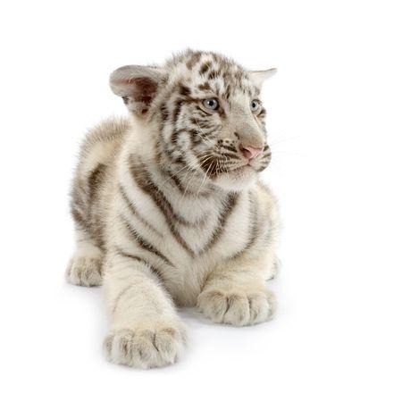tigre cachorro: Tigre Blanco cachorro (3 meses) delante de un fondo blanco.