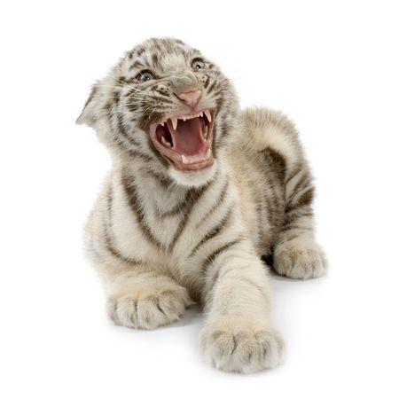 tiger cub: White Tiger cub (3 mois) devant un fond blanc.