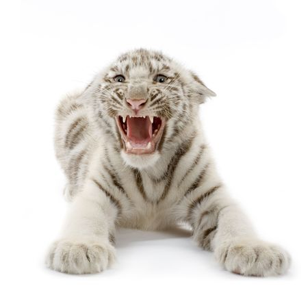 Бенгалия: White Tiger cub (3 months) in front of a white background.