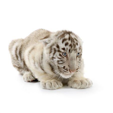 tigre cachorro: White Tiger cachorro (3 meses) delante de un fondo blanco.