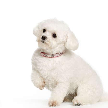 tame: Malt�s perro delante de fondo blanco