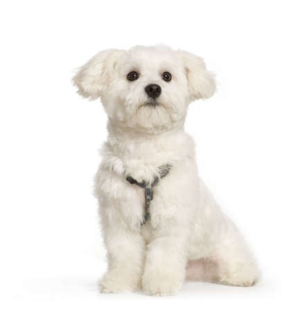 maltese dog sitting in front of white background Stock Photo - 555582