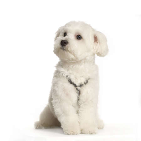 maltese dog sitting in front of white background Stock Photo - 555580