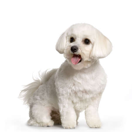 maltese dog standing in front of white background photo