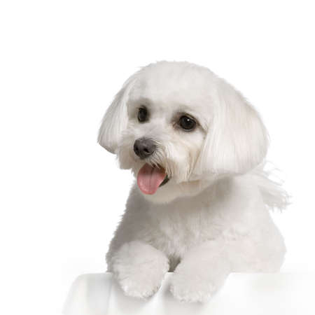maltese dog lying in front of white Stock Photo - 555568