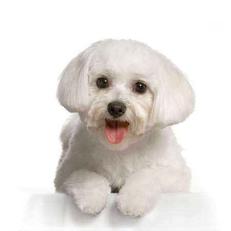 bichon: maltese dog lying in front of white