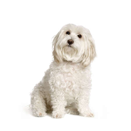 maltese dog sitting in front of white background Stock Photo - 555565