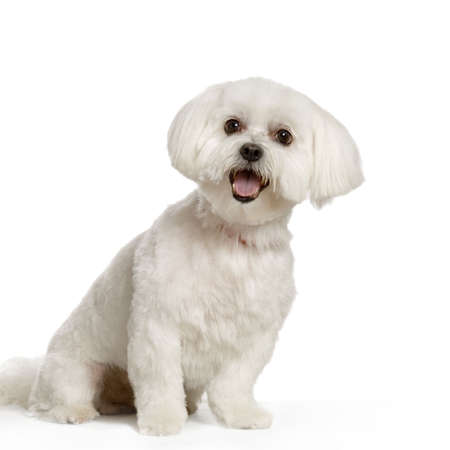 maltese dog sitting in front of white background Stock Photo - 555558