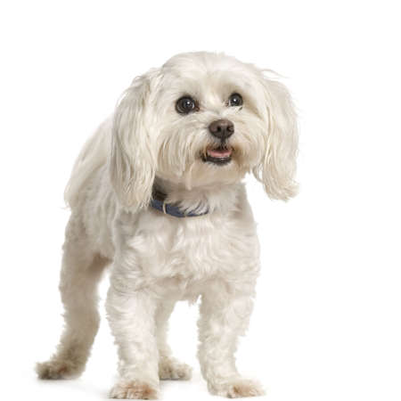 maltese dog standing in front of white background Stock Photo - 555560