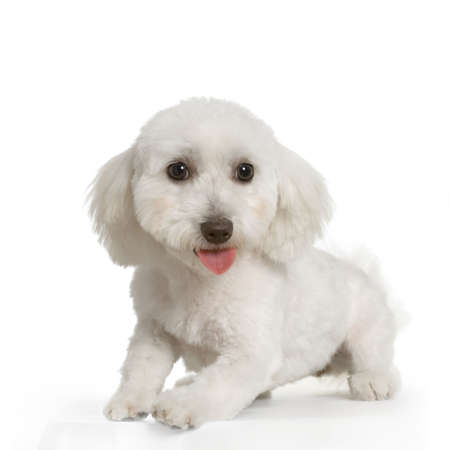 maltese dog sitting in front of white background Stock Photo - 555561