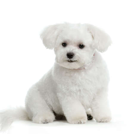 maltese dog sitting in front of white background Stock Photo - 555563