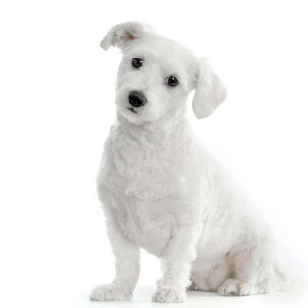dog sitting: maltese dog sitting in front of white background